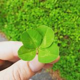 Lucky leaf in the hand royalty free stock images
