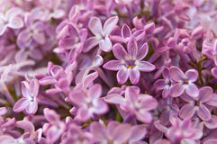 Lucky lilac flower Royalty Free Stock Photo