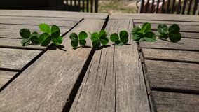 Lucky. Many Clover Royalty Free Stock Photography