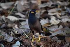 Lucky Myna. The stunned gaze of the common myna also called the lucky bird when found in a pair Royalty Free Stock Image