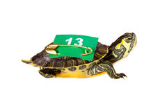 Lucky number 13 turtle Royalty Free Stock Images
