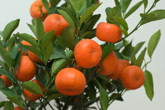 Lucky Orange Royalty Free Stock Photos