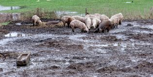 Lucky pigs on a organic farm in the mud, free running and without a narrow stable, organically valuable and healthy royalty free stock photography
