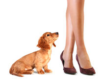 Lucky puppy. Isolated dachshund puppy looking up at ladies legs Royalty Free Stock Image