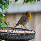 Lucky Robin. It`s this British robin`s lucky day as it lands upon a cache of seeds Royalty Free Stock Photo