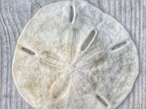 Lucky sand dollar. A sand dollar from beach in Galveston Texas Royalty Free Stock Photography
