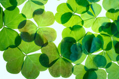Lucky shamrock pattern. Symbolic Green St.Patricks day clover on a white background Stock Images