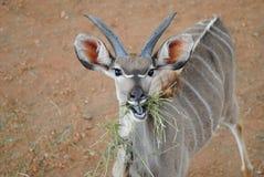 Adolescent Kudu stock photography