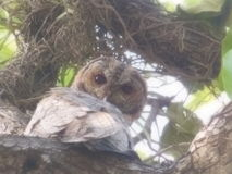 Lucky sighting. An owl sitting royally on the nest looking at us with great attitude Royalty Free Stock Photos