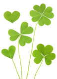 Lucky Three & Four Leaf Clovers Royalty Free Stock Images
