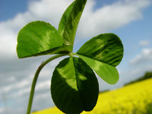 Lucky you ;o). Four-leaf clover in front of a field Stock Photography