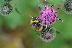 Lucorum caucásico gris y amarillo-negro macro h del Bombus del abejorro Foto de archivo