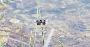 Luctuosa van de Libellibellula van de weduwenschuimspaan op een Riet wordt neergestreken dat Stock Foto's