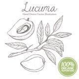 Lucuma-Pflaumenfrucht, Niederlassung, Blatt Organisch, superfood, Bild-Vektorillustration der Nahrung gesunde Hand gezeichnete Stockbild