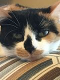 Lucy el calicó foto de archivo