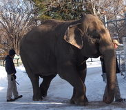 Lucy The Elephant With Trainers. Lucy the elephant with her trainers at the Edmonton zoo Royalty Free Stock Photo