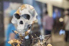 Lucy skeleton. A female of the hominin species Australopithecus afarensis Royalty Free Stock Photos