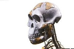 Lucy skeleton. Madrid, Spain - February 24, 2017: Lucy skeleton, a female of the hominin species Australopithecus afarensis at National Archeological  Museum of Royalty Free Stock Photos
