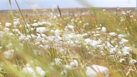 Luddfältslut upp Bomull för högst kvalitet är klar att skörda fältet Slut upp av en fluffig växt som skingrar frö arkivfilmer