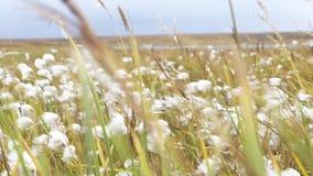 Luddfältslut upp Bomull för högst kvalitet är klar att skörda fältet Slut upp av en fluffig växt som skingrar frö lager videofilmer