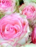 Luddig abstrakt blommabakgrund av rosa rosa knoppar royaltyfria foton