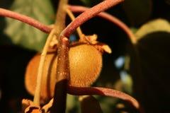 Luddig kiwifruit på ett löst träd Royaltyfria Bilder