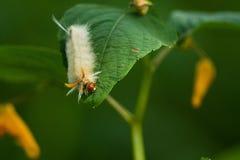 Luddig larv på ett blad Fotografering för Bildbyråer