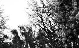 Luddiga vita blommor Royaltyfri Foto