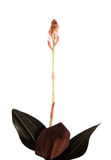 Ludisia discolor (black jewel. Orchid) opening flowers, isolated Royalty Free Stock Photos