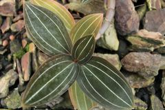 Ludisia discolor orchid leaves.  Stock Photos