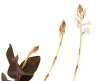 Ludisia scolorisce Fotografia Stock