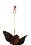 Ludisia verkleurt (zwart juweel royalty-vrije stock foto's