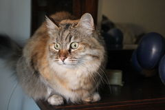 Ludmilla Princess, alias Princi - de Bruine kat van gestreepte katmaine coon Stock Fotografie