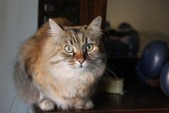 Ludmilla Princess, alias Princi - de Bruine kat van gestreepte katmaine coon Royalty-vrije Stock Foto