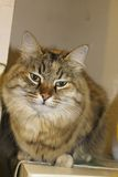 Ludmilla Princess, alias Princi - de Bruine kat van gestreepte katmaine coon Royalty-vrije Stock Afbeelding