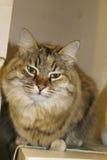 Ludmilla Princess, gato de Maine Coon del gato atigrado alias de Princi - de Brown Imagen de archivo libre de regalías