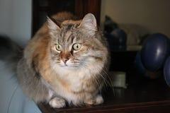 Ludmilla Princess pseudonym Princi - brun strimmig kattMaine Coon katt Arkivbild