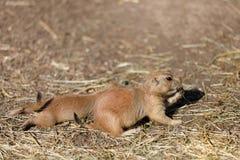 Ludovicianus à queue noire de Cynomys de chiens de prairie Image libre de droits