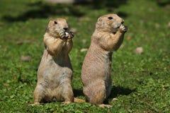 Ludovicianus con coda nera del Cynomys della marmotta fotografia stock