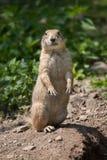 Ludovicianus con coda nera del Cynomys della marmotta Fotografia Stock Libera da Diritti