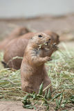 Ludovicianus con coda nera del Cynomys della marmotta Immagini Stock Libere da Diritti