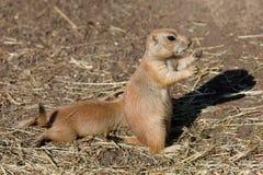 Ludovicianus con coda nera del Cynomys delle marmotte Immagini Stock
