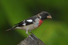 Ludovicianus de gros-bec, de Pheucticus de Rose-breasted, forme grise et rouge tropicale exotique Panama d'oiseau photographie stock libre de droits