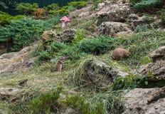 Ludovicianus nero del Cynomys delle marmotte immagini stock libere da diritti