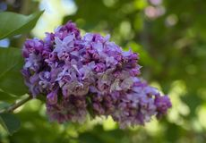 Ludwig Von Spaeth Lilac. Flowers Stock Images