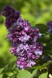 Ludwig Von Spaeth Lilac. Flowers Stock Photos