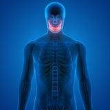 Ludzcy czaszki kości bóle Fotografia Royalty Free