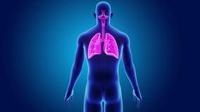 Ludzcy płuca z ciałem ilustracja wektor