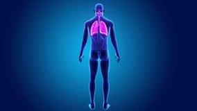 Ludzcy płuca z organami royalty ilustracja