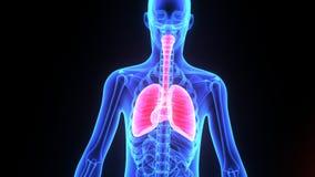 Ludzcy płuca z sercem ilustracji